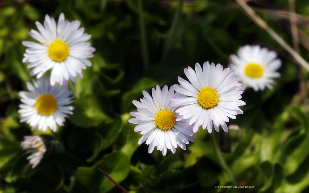 meadow-daisy-wallpapers-flower-desktops-background-wildflowers-225834