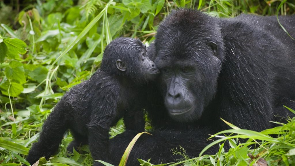 national-park-uganda-animals-baby-gorillas-1920x1080-103506