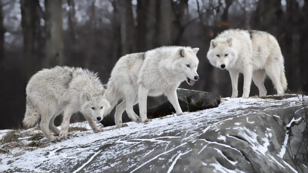 nature-animals-white-wolf-wolves-1920x1080-59297