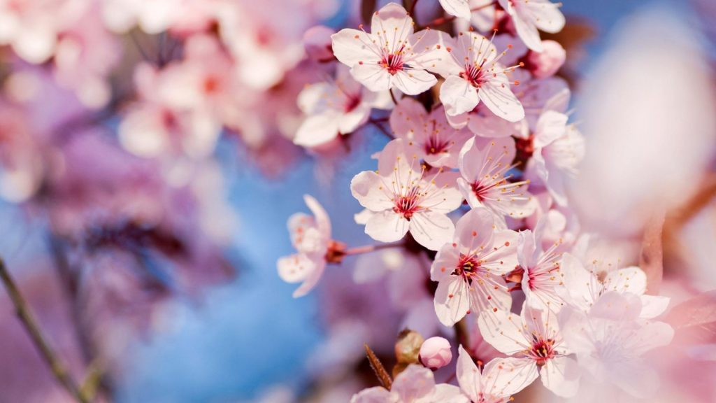 nature-cherry-blossoms-flowers-macro-pink-focused-1920x1080-48750