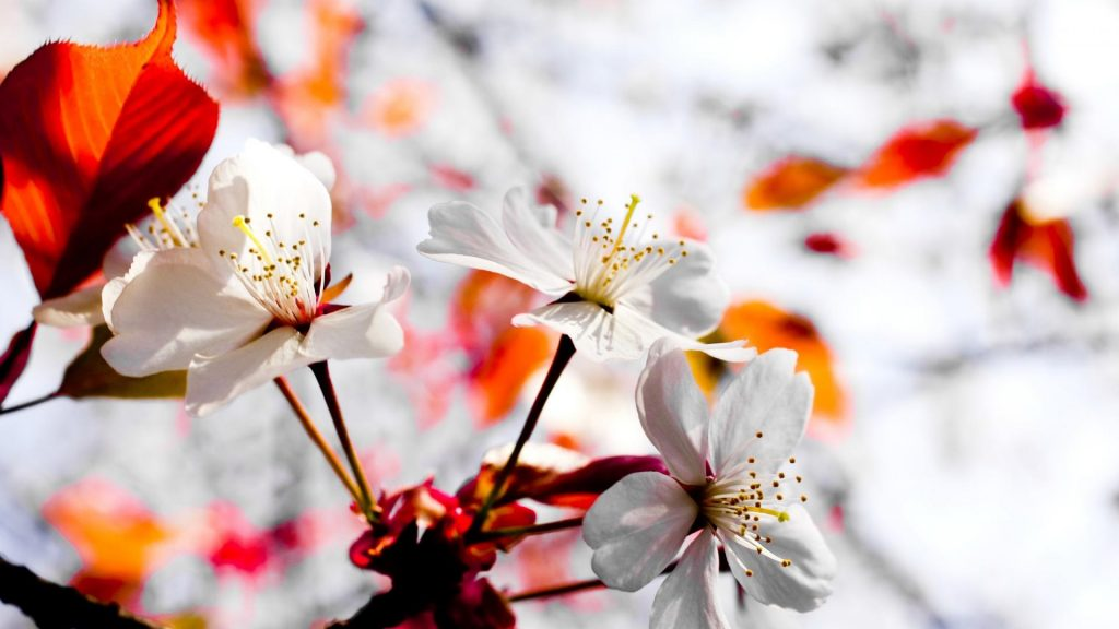 nature-flowers-blossoms-white-blurred-background-1920x1080-13817