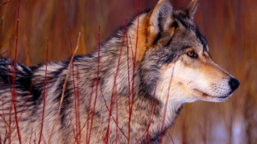 nature-wall-animals-wolf-guy-wolves-1920x1080-56410