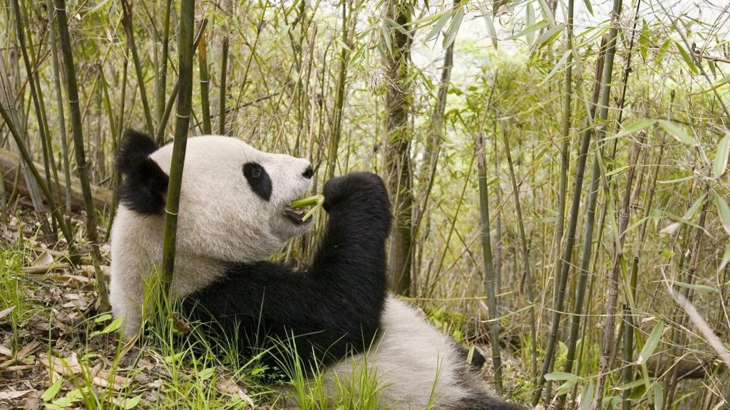panda_grass_lie_trees_72913_1920x1080