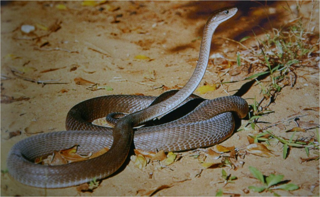 pictures-of-black-mamba-snake-dowload