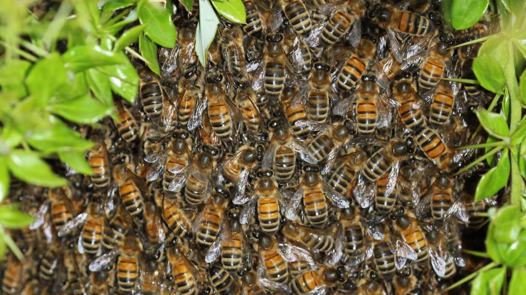 swarm-insects-bees-1920x1080-62255