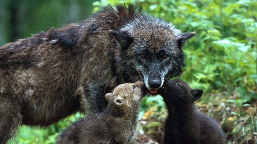 wolf_family_babies_care_color_52237_1920x1080