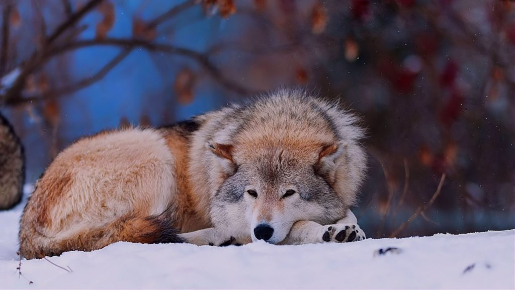 wolf_snow_lying_cold_forest_trees_56340_1920x1080