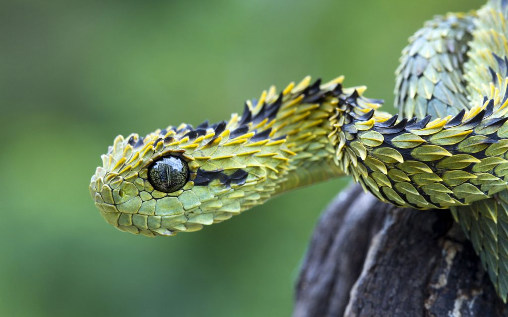 Fondos-4K-HD-de-la-Serpiente-Atheris-Fotosdelanaturaleza.es-4