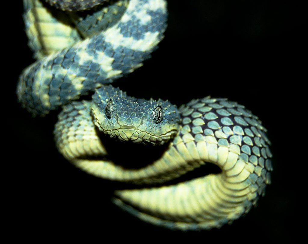 Fondos-4K-HD-de-la-Serpiente-Atheris-Fotosdelanaturaleza.es (5)