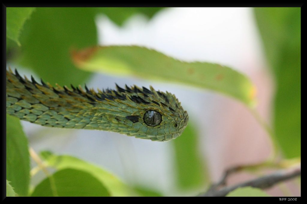 Fondos-4K-HD-de-la-Serpiente-Atheris-Fotosdelanaturaleza.es (7)
