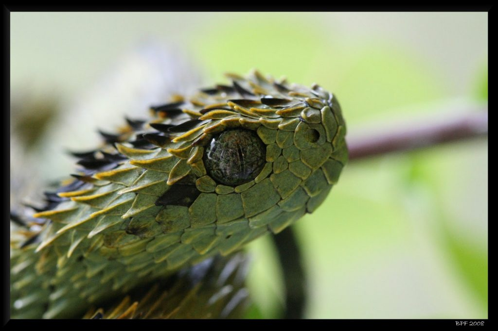 Fondos-4K-HD-de-la-Serpiente-Atheris-Fotosdelanaturaleza.es (8)