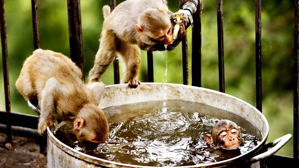 animals-bathing-drinking-funny-monkeys-1920x1080-112442