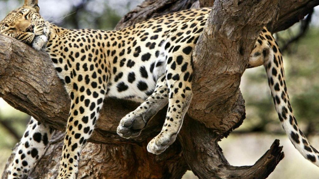 animals-funny-cheetahs-sleeping-1920x1080-20498