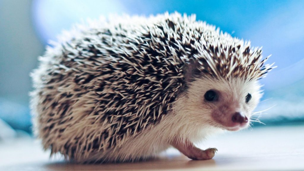 animals-hedgehogs-1920x1080-79329
