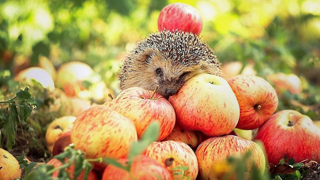 animals-hedgehogs-apples-1920x1080-63662