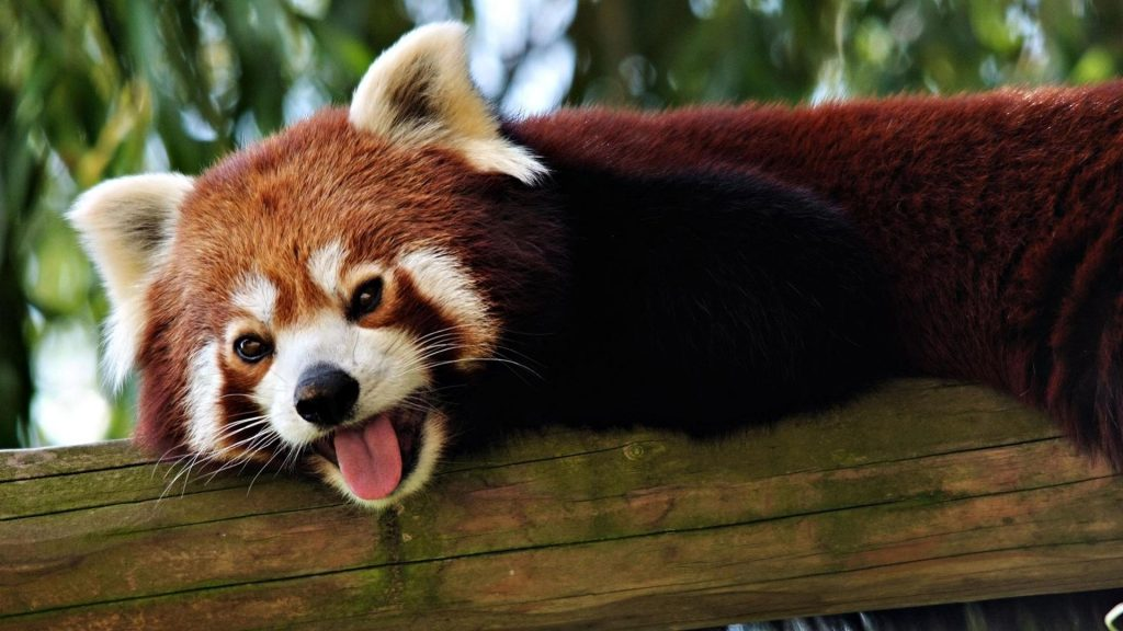 animals-nature-red-pandas-1920x1080-49552