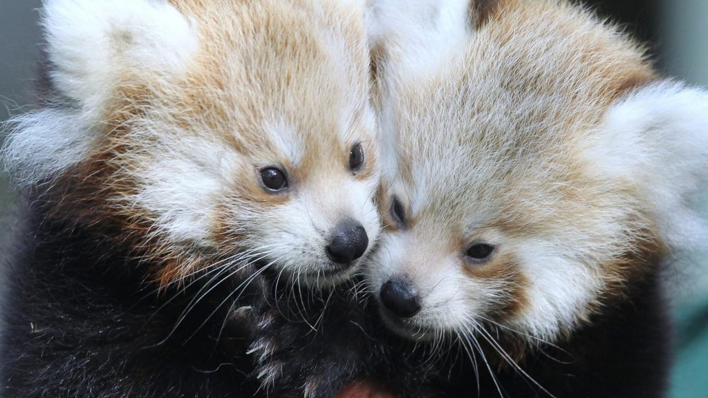 animals-red-pandas-1920x1080-25472