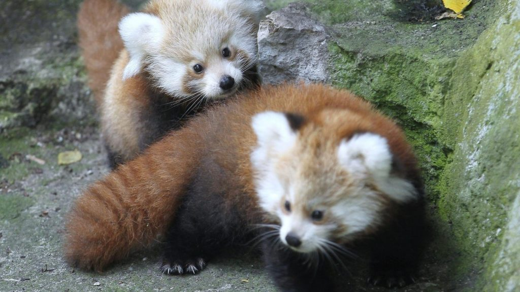 animals-red-pandas-1920x1080-25708