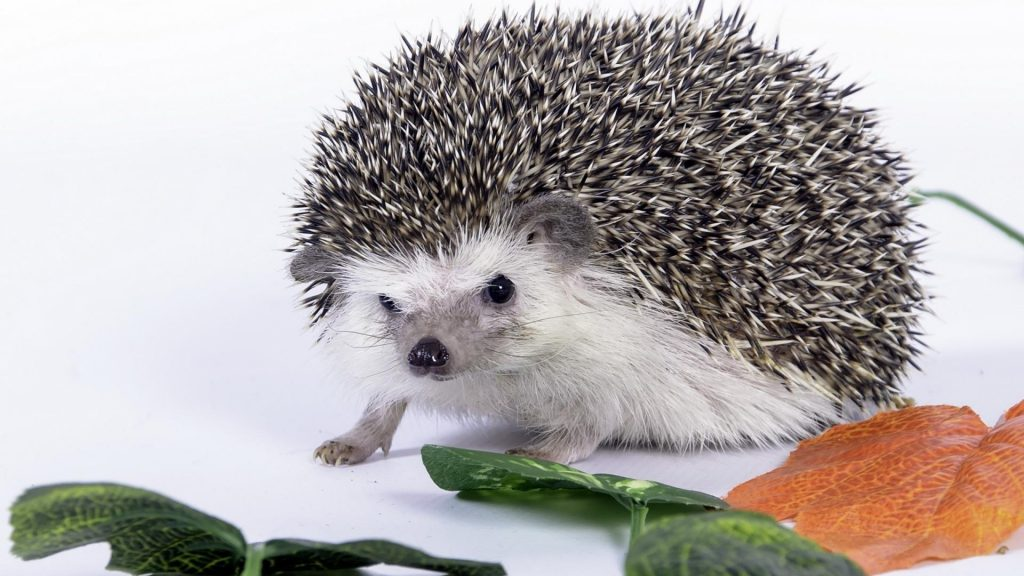 cute-hedgehog-1920x1080-83411