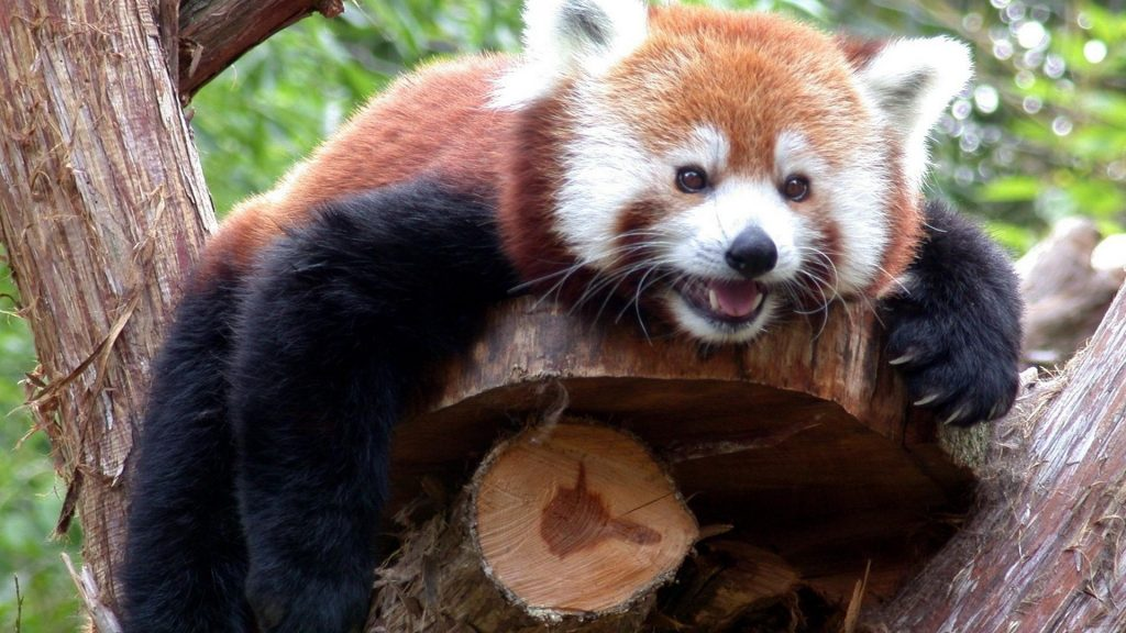 firefox-animals-red-pandas-1920x1080-83858