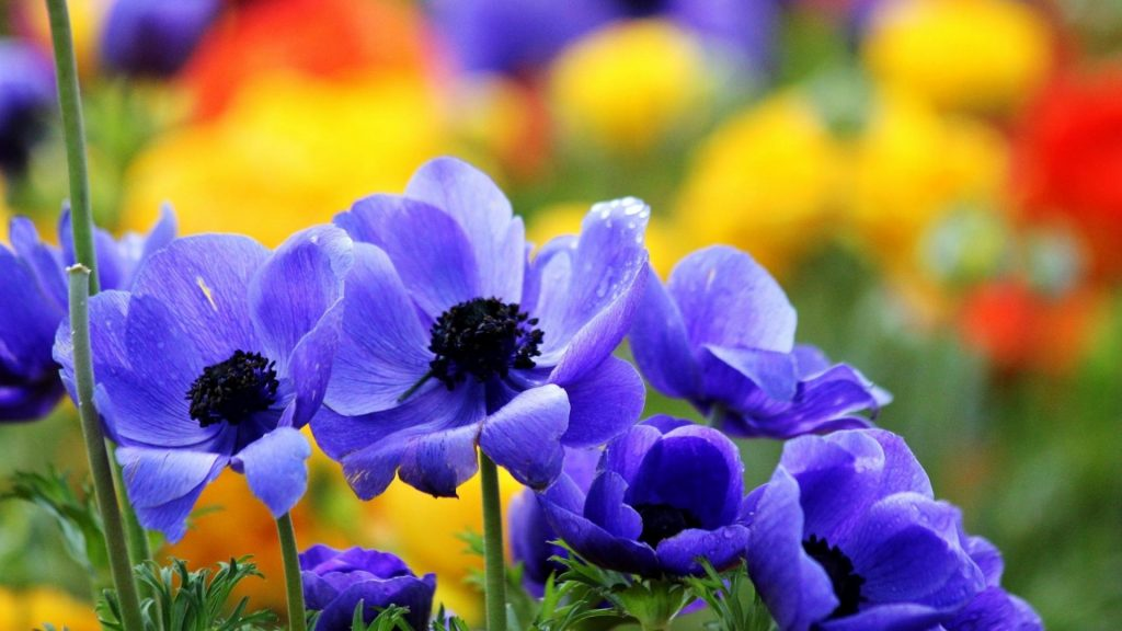 flowers-blue-poppies-1920x1080-11576