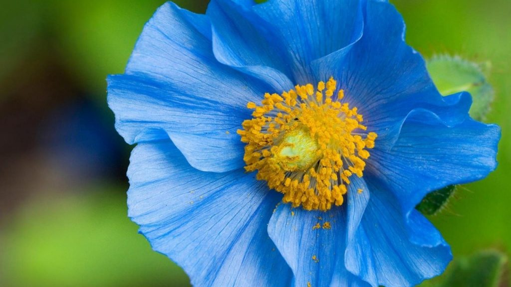 flowers-pollen-blue-poppies-1920x1080-78877