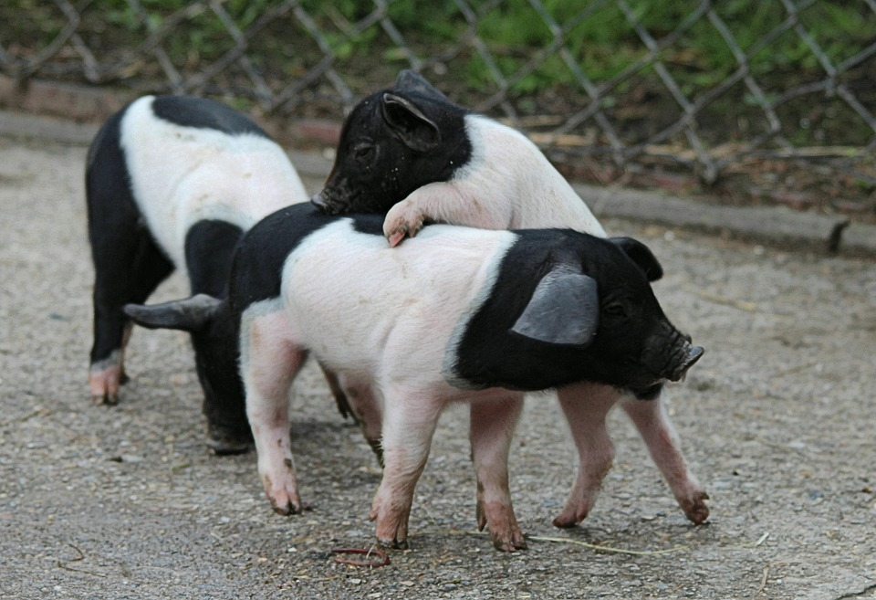 german-saddle-pigs-519142_960_720