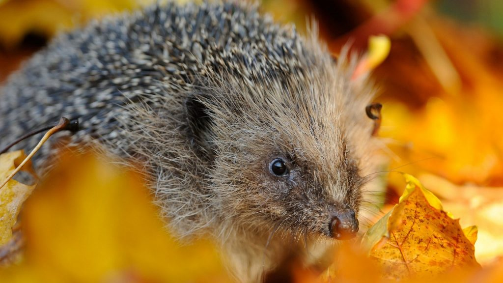 hedgehog_foliage_muzzle_thorns_102999_1920x1080