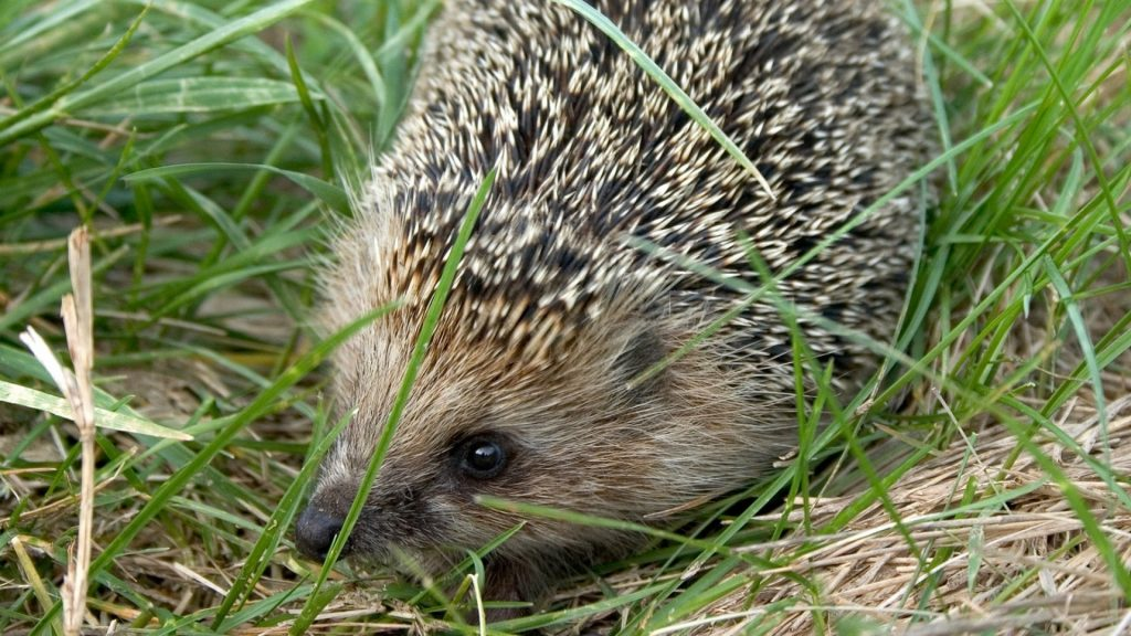 hedgehog_grass_dry_thorn_72547_1920x1080