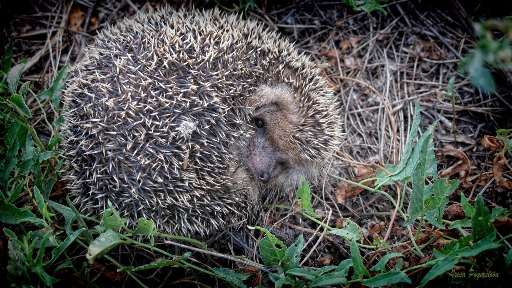 hedgehog_grass_fall_nose_72537_1920x1080