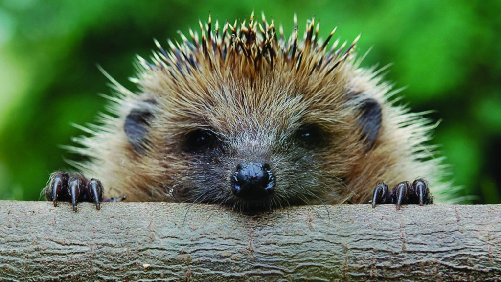 hedgehog_muzzle_timber_foot_72540_1920x1080