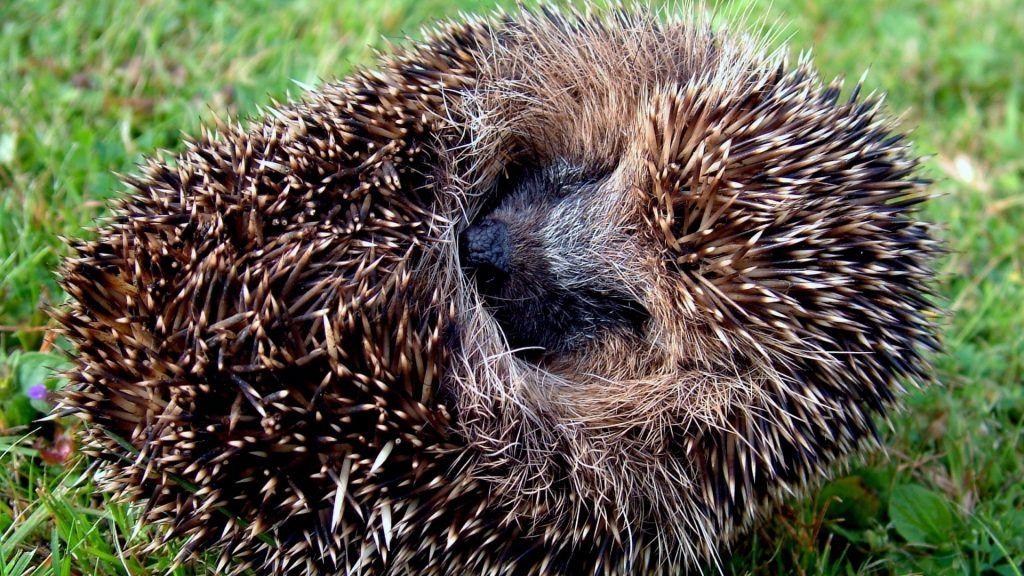 hedgehog_spines_lie_56107_1920x1080