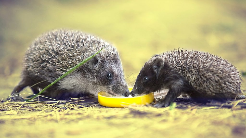 hedgehogs_lemon_food_thorns_104115_1920x1080