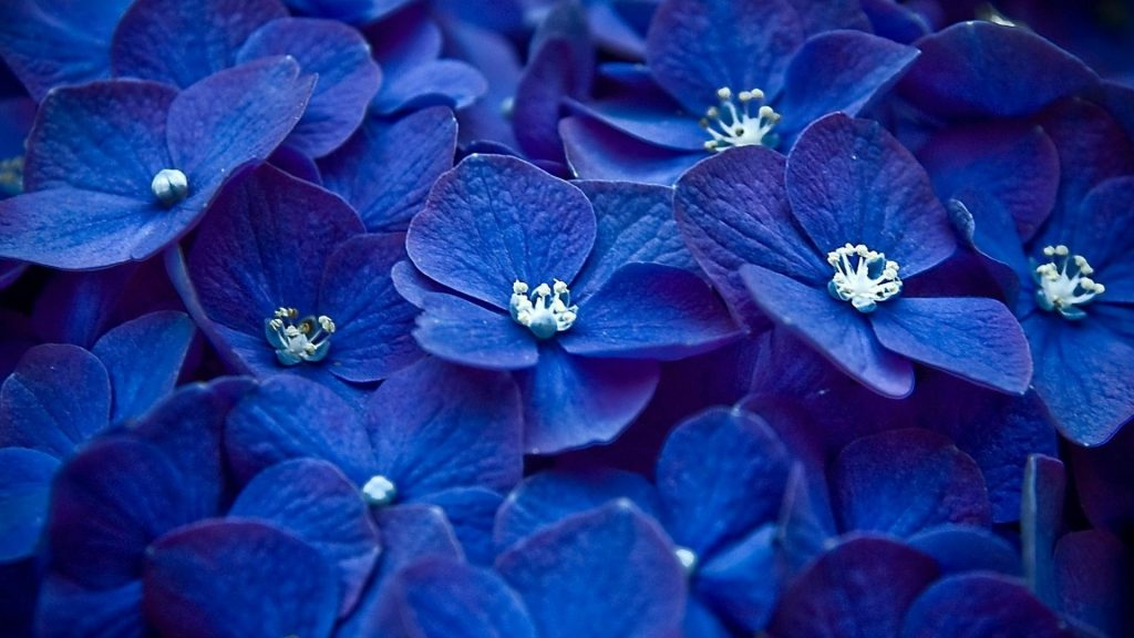 hydrangeas-blue-flowers-nature-1920x1080-52814