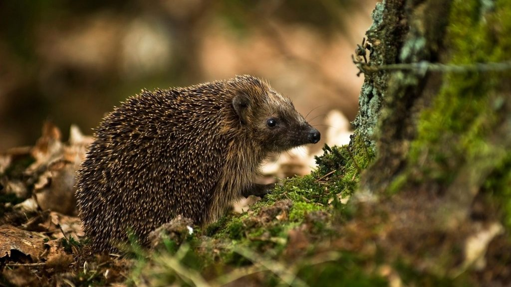nature-animals-hedgehogs-1920x1080-43965