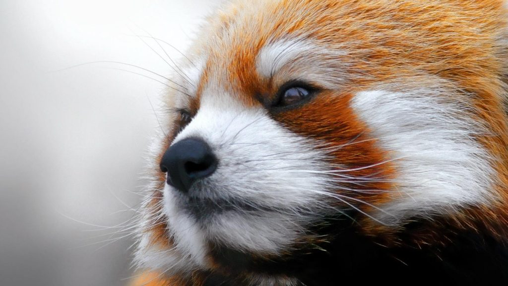 red-panda-photos-1920x1080-79090