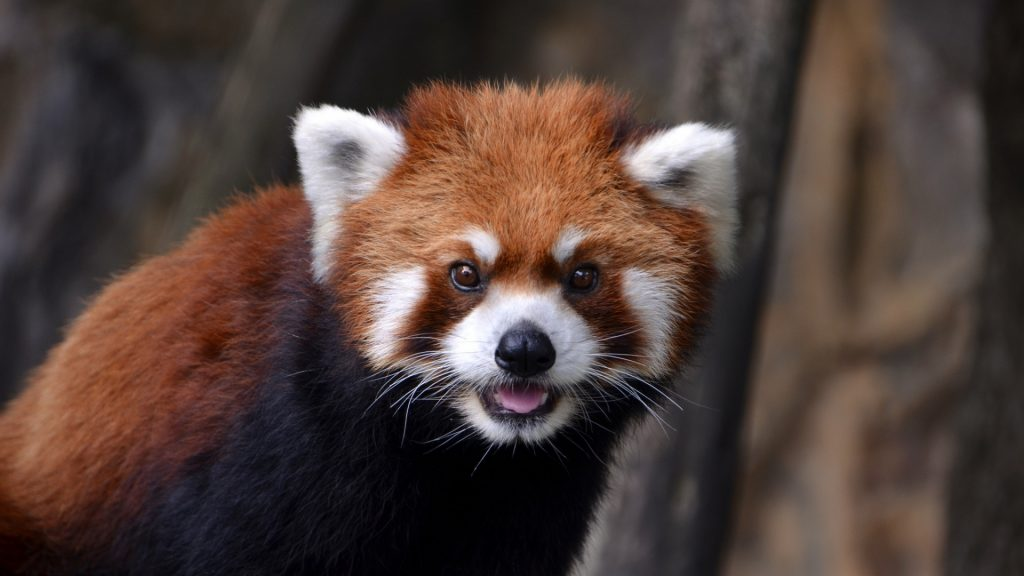 red_panda_look_animal_57794_1920x1080
