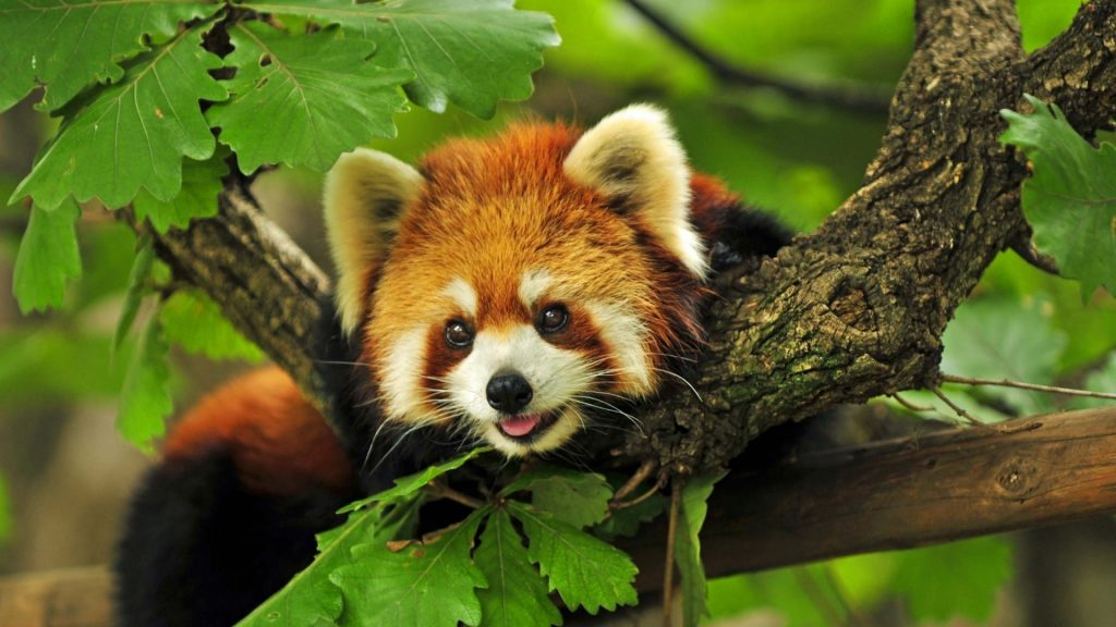 red_panda_tree_leaves_29285_1920x1080