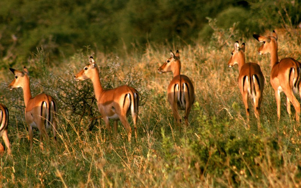 Wallpapers-HD-de-Antilopes-fotosdelanaturaleza (4)
