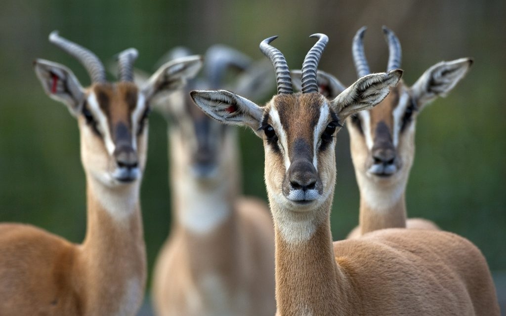 Wallpapers-HD-de-Antilopes-fotosdelanaturaleza (8)
