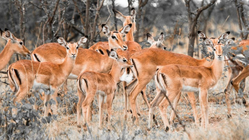 Wallpapers-HD-de-Antilopes-fotosdelanaturaleza (9)