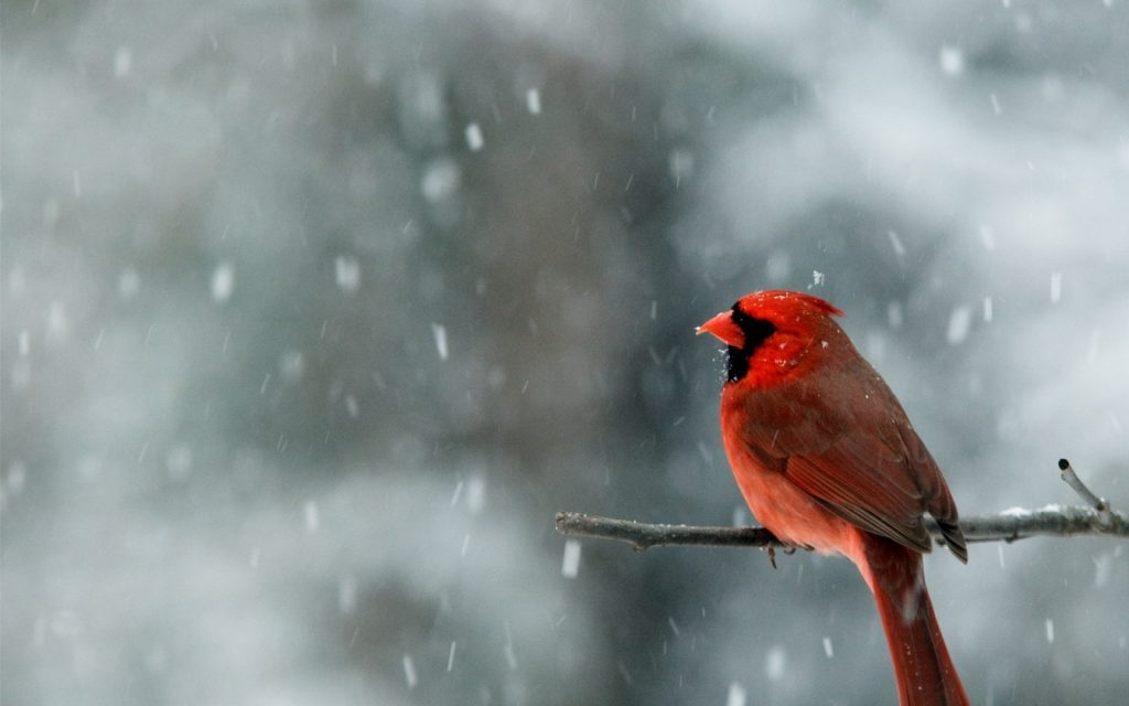 Wallpapers-HD-del-Cardenal-Rojo-fotosdelanaturaleza (10)