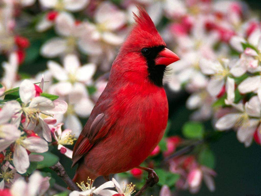 Wallpapers-HD-del-Cardenal-Rojo-fotosdelanaturaleza (4)