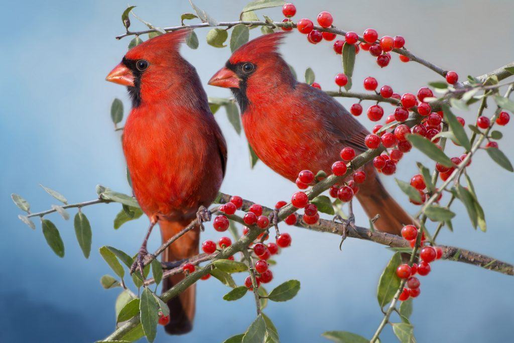 Wallpapers-HD-del-Cardenal-Rojo-fotosdelanaturaleza (6)
