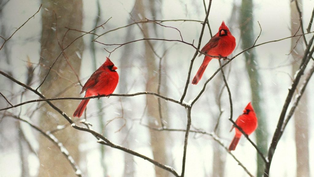 Wallpapers-HD-del-Cardenal-Rojo-fotosdelanaturaleza (7)