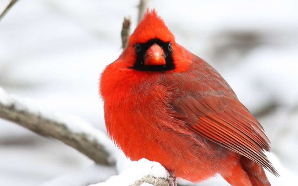 Wallpapers-HD-del-Cardenal-Rojo-fotosdelanaturaleza (9)