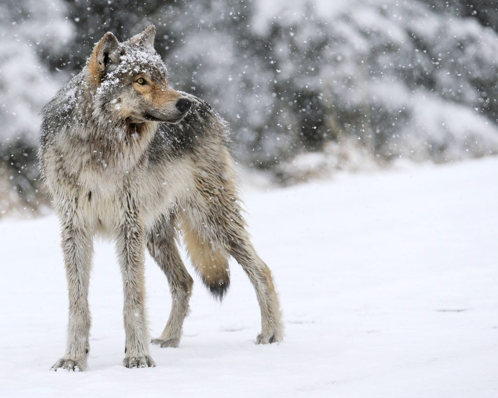 This beautiful Gray Wolf was photographed on a snowy April morning along the Northfork Highway in the Shoshone National Forest, just a few miles from the east gate of Yellowstone National Park.