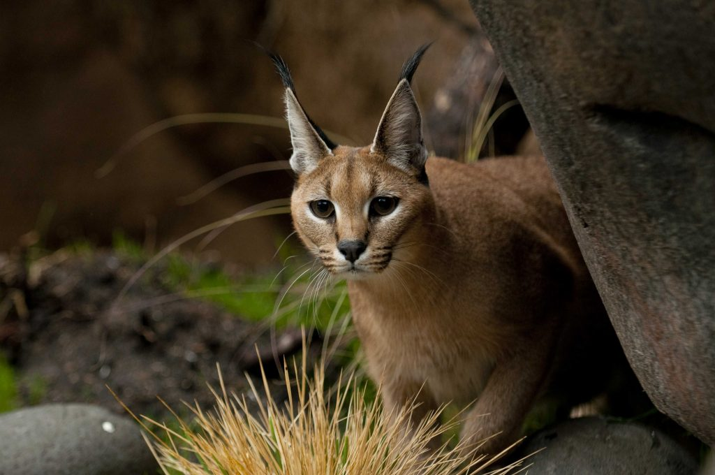 Peggy, a female Caracal in her new exhibit in Predators of the Serengeti at the Oregon Zoo.   © Oregon Zoo / Photo by Julie Cudahy