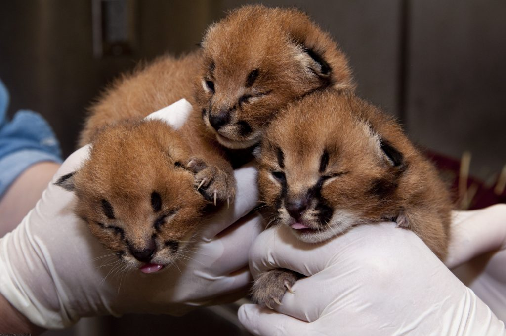 Eight day old caracal kittens recieve their first veterinary check up at Predators of the Serengeti at the Oregon Zoo. © Oregon Zoo / photo by Michael Durham.