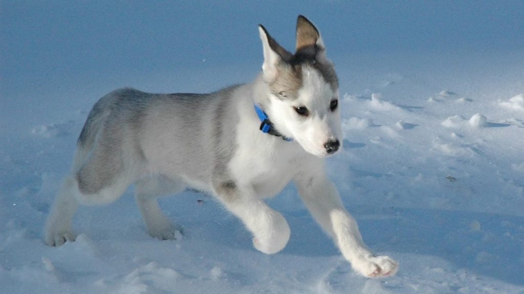 husky-siberiano-wallpapers-hd-fotosdelanaturaleza (1)